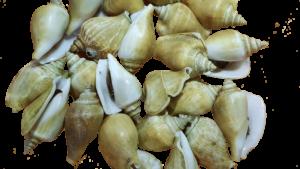 siput gonggong makan khas kota tanjung pinang